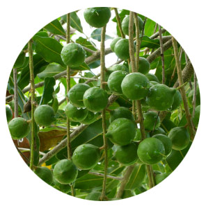 The Macadamia is at home on the tropical east coast of Australia.